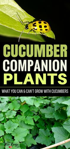 Gardening For Beginners: Do you have trouble with growing great cucumbers organically? Learn about which crops make great cucumber companion plants and which ones should be kept far away in the garden.