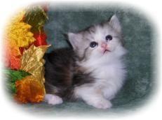 Napoleon kittens