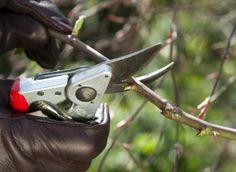Quand tailler les arbustes d'ornement ?