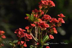 红花报春 - null