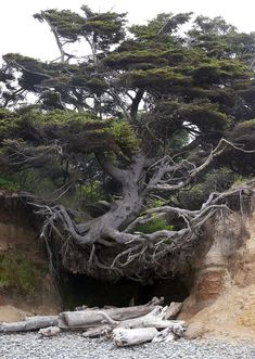 Tree Root Cave, Big Sur, California photo via abasa I love how this tree still holds it self high even though the soil has been washed away. Like this tree, no matter how many times the rug is pulled out from under me I will always stand tall and proud. Big Sur California, Unique Trees, Old Trees, Tree Roots, Tree Forest, Cedar Forest, Forest Path, Nature Tree, Tree Of Life