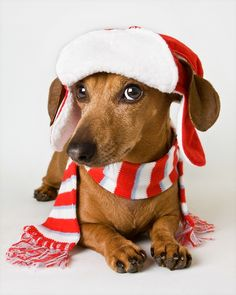Doxie #Santa outfit