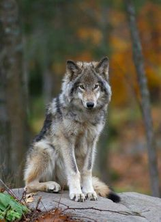 🐺If you Love Wolves, You Must Check The Link In Our Bio 🔥 Exclusive Wolf Related Products on Sale for a Limited Time Only! Tag a Wolf Lover! Wolf Love, Wolf Spirit, My Spirit Animal, Wolf Pictures, Animal Pictures, Wolf Photos, Nature Photos, Beautiful Creatures, Animals Beautiful