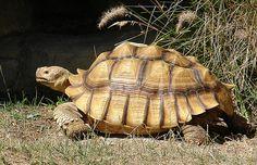 http://florafauna.com/images/category/tortoises/sulcata.jpg