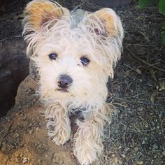 Styles the morkie dog