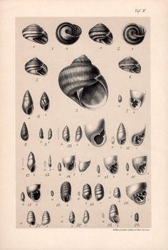 1909 Land Snails Print Gastropod Molluscs Shells by Craftissimo