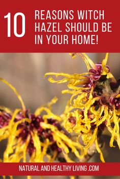Check out these 10 Unbelievable uses for witch hazel!  http://www.naturalandhealthyliving.com/witch-hazel-uses/ #naturalliving #herbs #witchhazeluses #diy #crafts