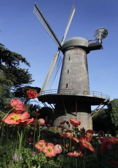 Flowers bloom in the Queen Wilhelmina Garden in front of the Dutch windmill at Golden Gate Park in San Francisco, March 19, 2014. Photo: Paul Chinn