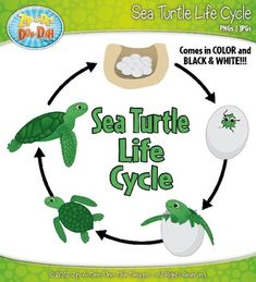 Sea Turtle Life Cycle Clipart Set — Comes In Color and B
