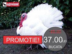 PROMOTIE! Curcani 8 saptamani pret promotional 37 lei/buc! (Pret vechi 45 lei) Sanatosi frumosi si vaccinati! Inscrie-te ACUM la cel mai apropiat magazin Agroland: http://ift.tt/2bUSkMx #agroland #curcani