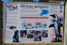 Visit one of the few land based Penguin colonies at Stony Point in Betty's Bay. Less than 10 minutes drive from Pringle Bay. Stony Point, African Penguin, Vulnerability, Daydream, Penguins, South Africa, Sign, Animals, Animales