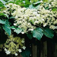 1000 Images About Vines On Pinterest Climbing Hydrangea