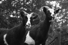 Goats, Sony, Pictures, Animals, Photos, Animales, Animaux, Goat, Resim