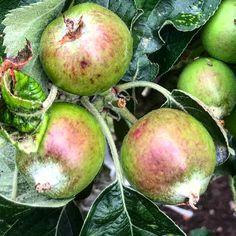 By kleintiereonline.de. . Stand der Kulturen: Kernobst. Die Entwicklung der Aepfel läuft zufriedenstellend ab. Die Befruchtung lief in Ordnung ab. Bei einzelnen Bäumen zeigt sich zwar ein unbefriedigendes Ergebnis; fast keine Früchte sind zu sehen. . Bei dieser Fotoaufnahme zeigen sich kleinere Schäden bei einzelnen Früchten; auch ein früherer Blattläusebefall ist an den aufgerollten, hellen Blättern noch zu sehen. Beschädigte Früchte können noch ausgedünnt werden. Wir wollen nicht makelose… Berries, Apple, Lawn And Garden