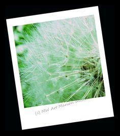 MW Art Marion Waschk, Blume, Blüte, Pusteblume, Pflanze, Samen, foto, fotobearbeitung, sparziergang, Hagen, NRW,  Kunstdruck, Wanddeko, bilderrahmen, Natur,