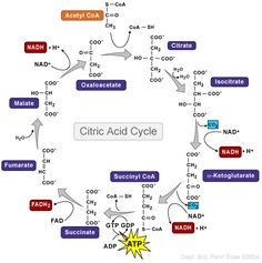 Glycolysis, Fermentation and the Citric Acid Cycle - Biol 230 Master - Confluence