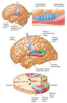 cortex-auditivo Brain Anatomy, Medical Anatomy, Anatomy And Physiology, Brain Science, Medical Science, Human Body Diagram, Nervous System Anatomy, Study Flashcards, Brain Facts