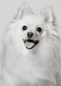 Pomeranian ...piotr m