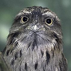 This is a Tawny Frogmouth, a type of bird from Australia! When I was in High School I worked at the zoo. Our Tawny Frogmouths got spray baths every week and they really enjoyed it!
