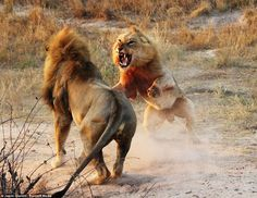 Lion fight at Cheetah Plains A few nights ago, while being chased, it seemed like the young males had had enough, and were salivating heavily, and looked like they were going to challenge their tormentor, but the aggression fizzled out as the male left with a female he was mating with.
