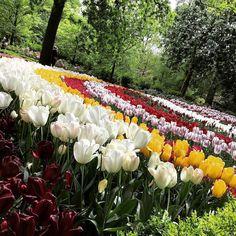#Keukenhof - Lisse Netherlands  #tulipsgarden #keukenhofgarden #tulpenvelden #tulpen #keukenhof2016 #visitholland #lisse #park #nature #instaplace #instalike #holland #flowers #beautifulgardens #tulips #springflowers by quality7