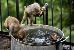 Two monkeys quench their thirst as a third takes a dip on a hot summer afternoon in India.