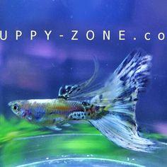 Blue Galaxy guppy fish .  www.guppy-zone.com (Thailand) Betta, Water Life, Guppy, Beautiful Fish, Medusa, Photoshop, Fresh, Patience, Thailand