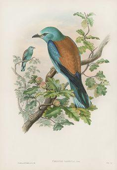 Coracias Garrula - Roller USD $795 Bird Prints by John Gould 1862