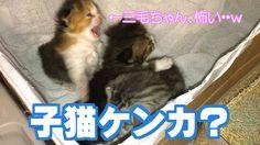 可愛いスコティッシュフォールド子猫のケンカ??w ブリーダー販売