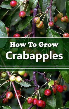 How To Grow Crabapple Trees - in your backyard... #gardening #homestead #homesteading