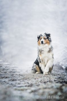 australian shepherds are  beautiful dogs...maybe Ill have one of those too…