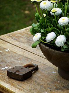 houseplants by AKURATNIE kwiaty   www.akuratnie.com.pl  www.facebook.com/akuratnie.kwiaty  www.instagram.com/akuratnie.dw  #simpleisbeautiful #akuratnie #white #daisy #flowers #old #padlock #bellis #biel #stokrotka #kwiaty