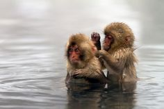 Japanese Baby Snow Monkeys