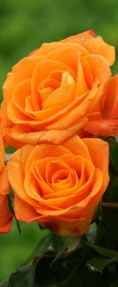 Orange roses.