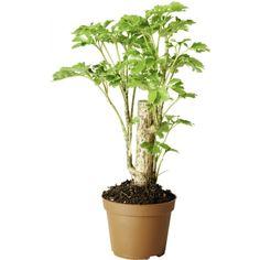 Grønnplanter med stamme mix sorter
