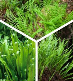 Buy Native Fern Collection from Sarah Raven: Create a magical woodland floor with these 3 easy & reliable ferns. Evergreen Asplenium & Blechnum work brilliantly with deciduous Dryopteris in a shady setting Biennial Plants, Plant Delivery, Wreath Drawing, Garden Drawing, Shade Flowers, Summer Plants, Glass Garden, Ferns Garden, Flowers Garden