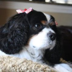King Charles Cavalier Spaniel, Maggie May King Charles Spaniel, Cavalier King Charles, Animals And Pets, Cute Animals, Spaniels, Children And Family, Wishful Thinking, Puppys, Pet Products