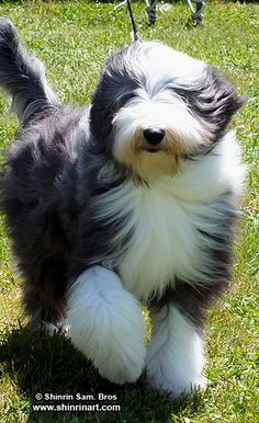 Bearded Collie - my first dog Billy was a bearded collie - just so fluffy and adorable
