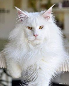 Stunning White Maine Coone (x-post /r/mainecoons)   http://ift.tt/1T4JewO via /r/cats http://ift.tt/1T4ne57  cats funny pictures