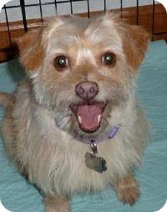 Omaha, NE - Norwich Terrier/Chihuahua Mix. Meet Ernie, a dog for adoption.…