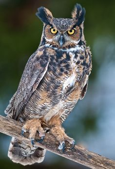 Great Horned Owl by Cycroft Photo