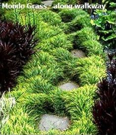 Green Mondo Grass is a very dark green perennial evergreen grass with fine textured foliage year round. During the summer months, puts forth a large display of bright lilac colored flowers which show up very nicely against the very dark green foliage.