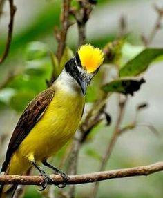 Great Kiskadee (Pitangus sulphuratus) Wild Bird