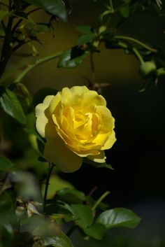 https://flic.kr/p/RuhtJ1   A Pretty Yellow Rose   One of Natures finest inventions . . .