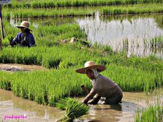 It's a common sight to see women  farming along the national highway in Camiling, Tarlac, Philippines...