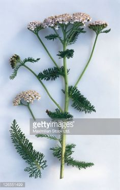 Stock Photo : Yarrow, sprig with leaves and flowers.