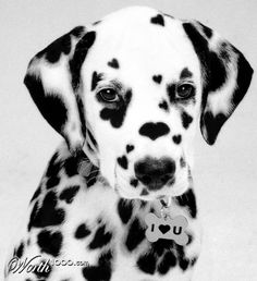 I Heart Dalmations by Calaveras, 2nd place entry in Sickening Cute 2 © Aviary, Inc., via photography.worth1000.com