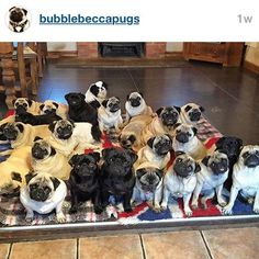 @bubblebeccapugs This shows; there are NEVER enough pugs! ❤️...please; just one more pug?