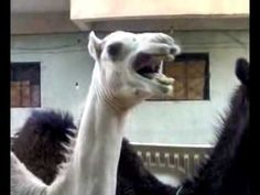 Are Camels Ticklish? Watch And Find Out! | Videos Worth Sharing