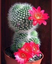 Картинки по запросу красивые кактусы